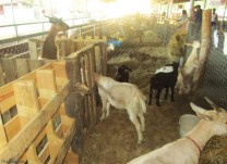 goats, who liked to climb on the enclosures as you approached