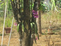 This gorgeous orchid is in the neighbor's tree