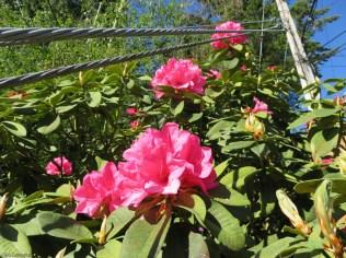 more azaleas in the yard of the next door neighbor
