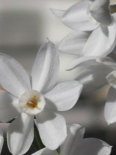 Narcissus_papyraceus-Jerusalem-3
