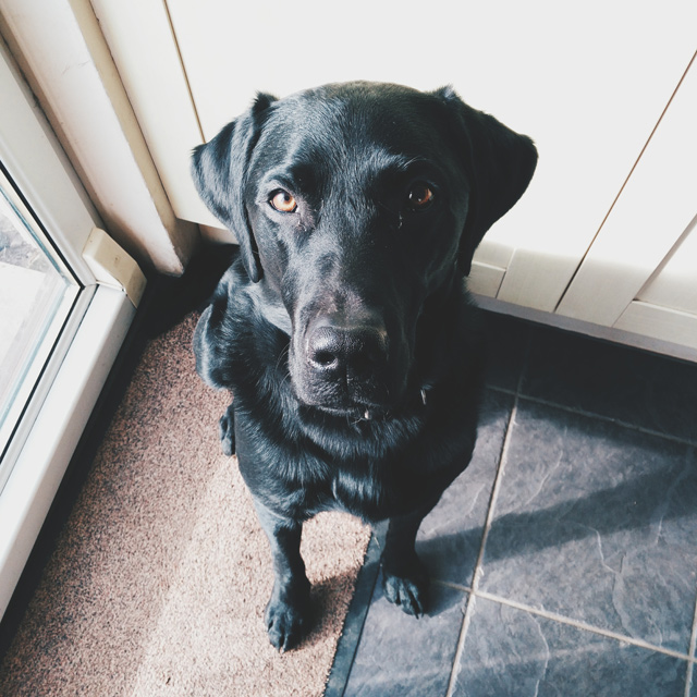 Image shows young black labrador sitting looking at the camera