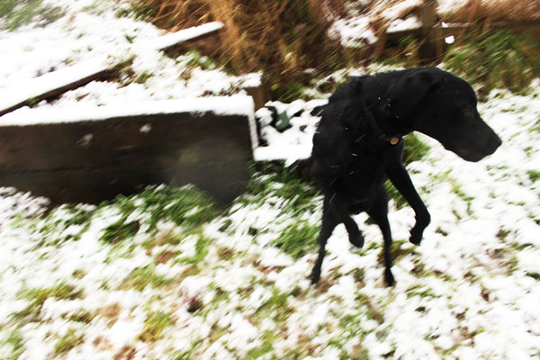 Dog jumping about in snow.