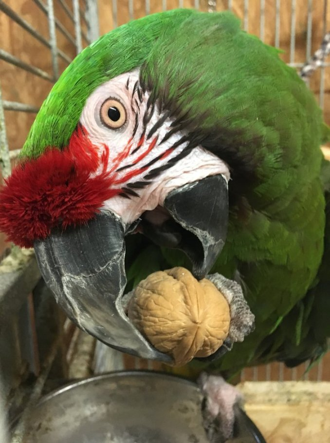 Macro image of a Military Macaw starting to crack a walnut in his beak
