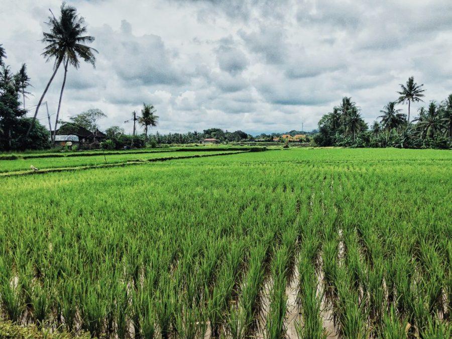 ubud bali rice fields