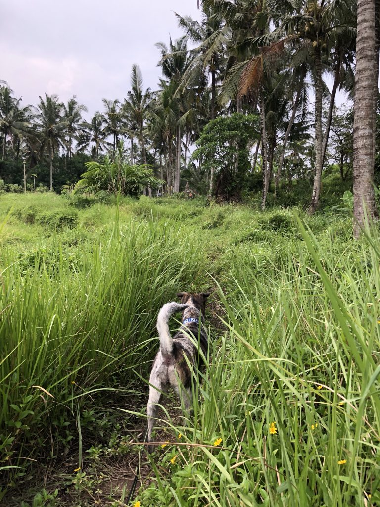 walking bali stray dogs