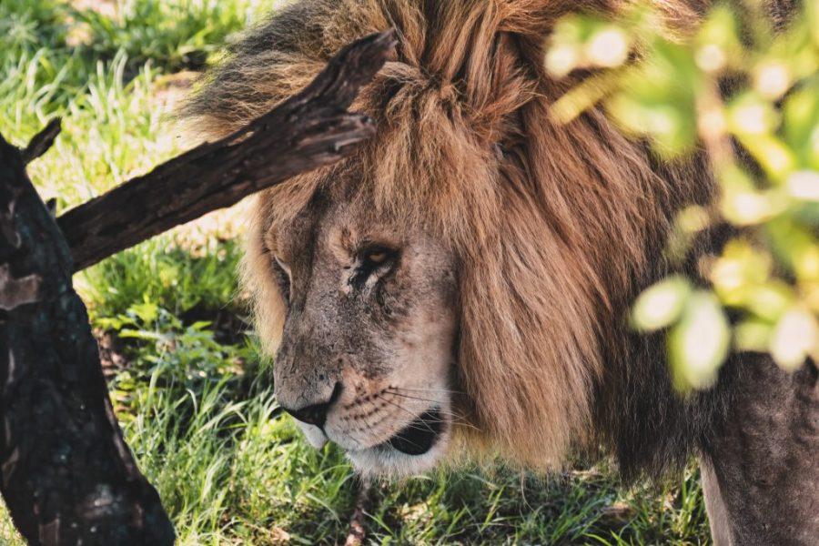 lion safari south africa