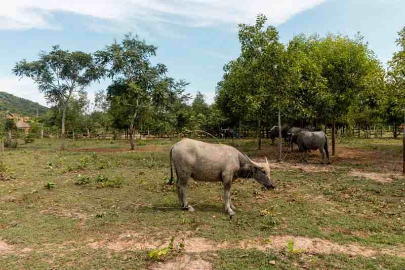 Water Buffalo at La Plantation