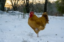 Chickens stand on one leg in snow.