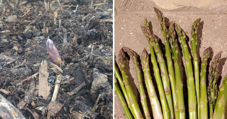 Peachicks @No17 Allotment Diaries : Top Tips for Growing & Cooking Asparagus