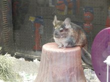 The Wise Chinchilla. (Seriously. Look at this thing)