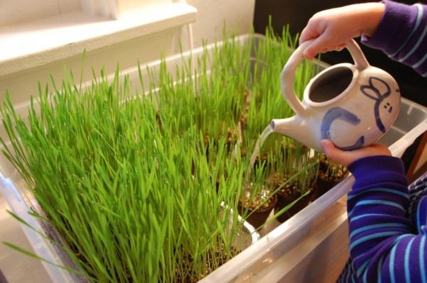 Grow Wheat Grass Indoors