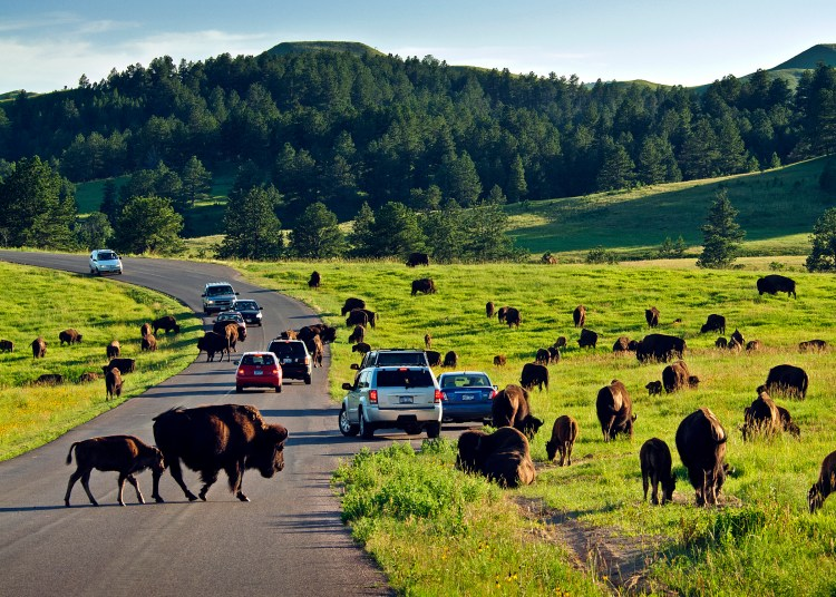 Free Roaming Buffalo in Custer State Park