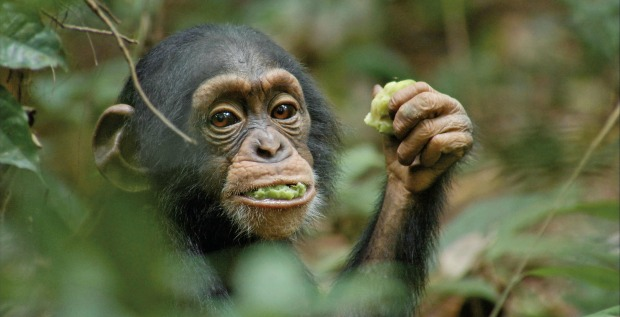 Sir David Attenborough Urges You To Support Chimpanzee