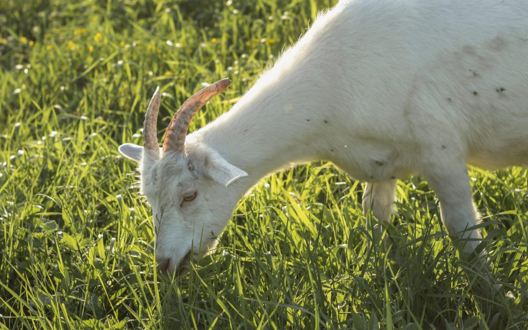 Everything I need to know about being a leader, I learned from my goat