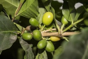 world coffeeproduction