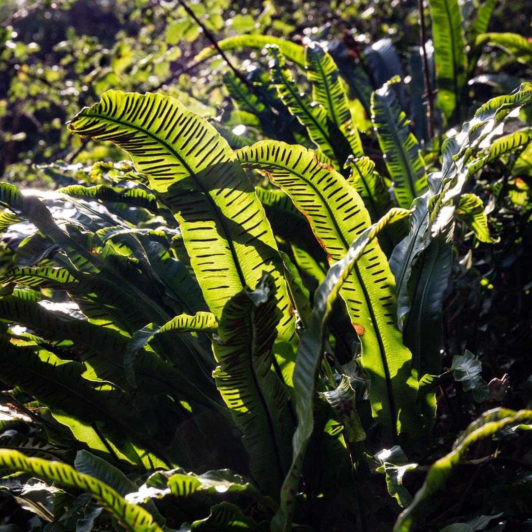Hart's tongue fern III, Lyme Regis Undercliffs, Devon.
