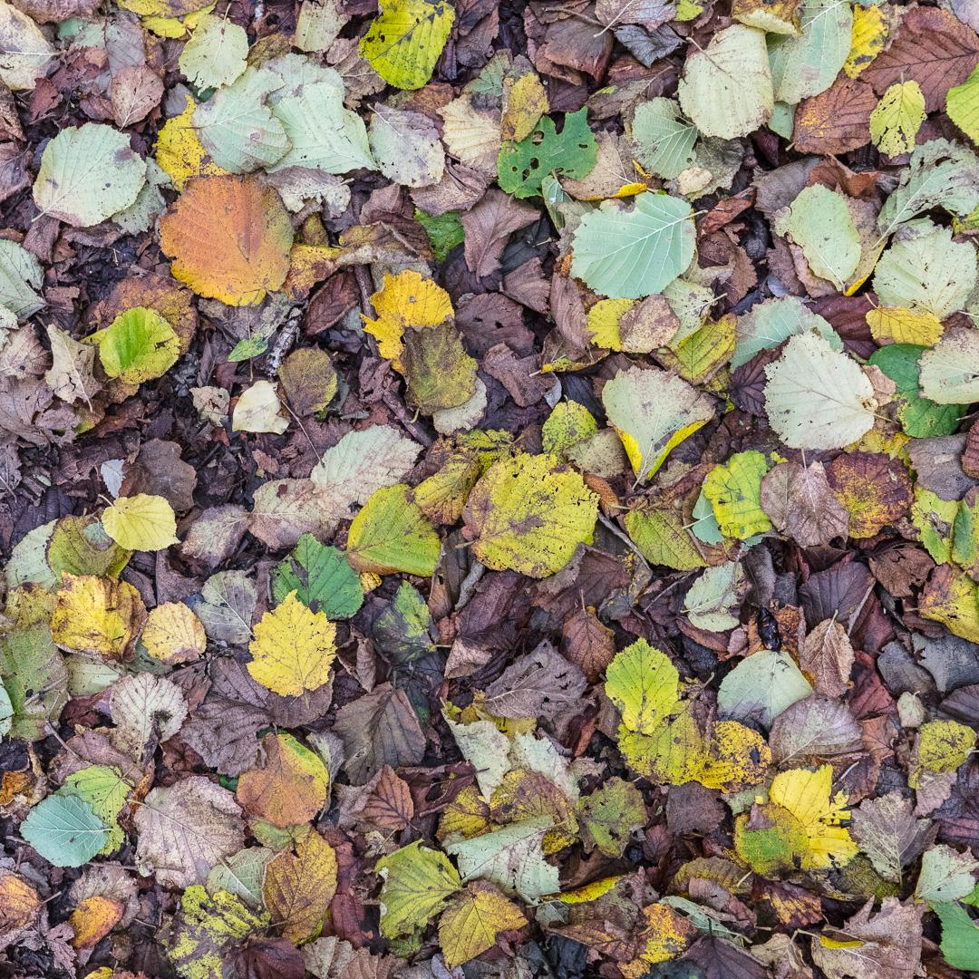 Fallen leaves, Llansteffan, Gwent.