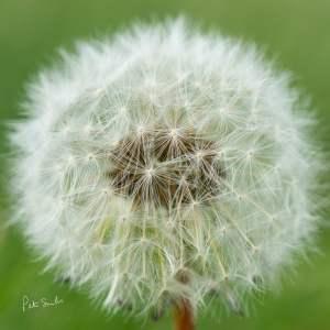 Closeup Dandelion Fluffball