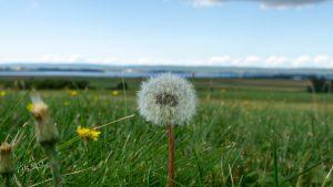 Dandelion Fluffball