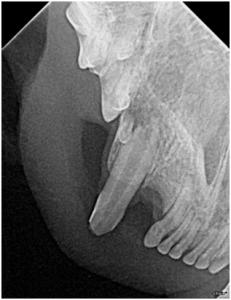 cat fractured teeth