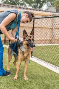 German Shepherd dog and kennel attendant