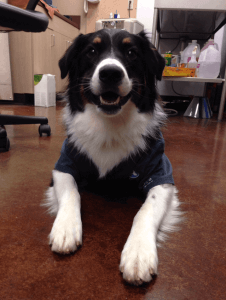 Dog in scrubs