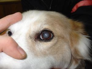 Nuclear Sclerosis dog eye