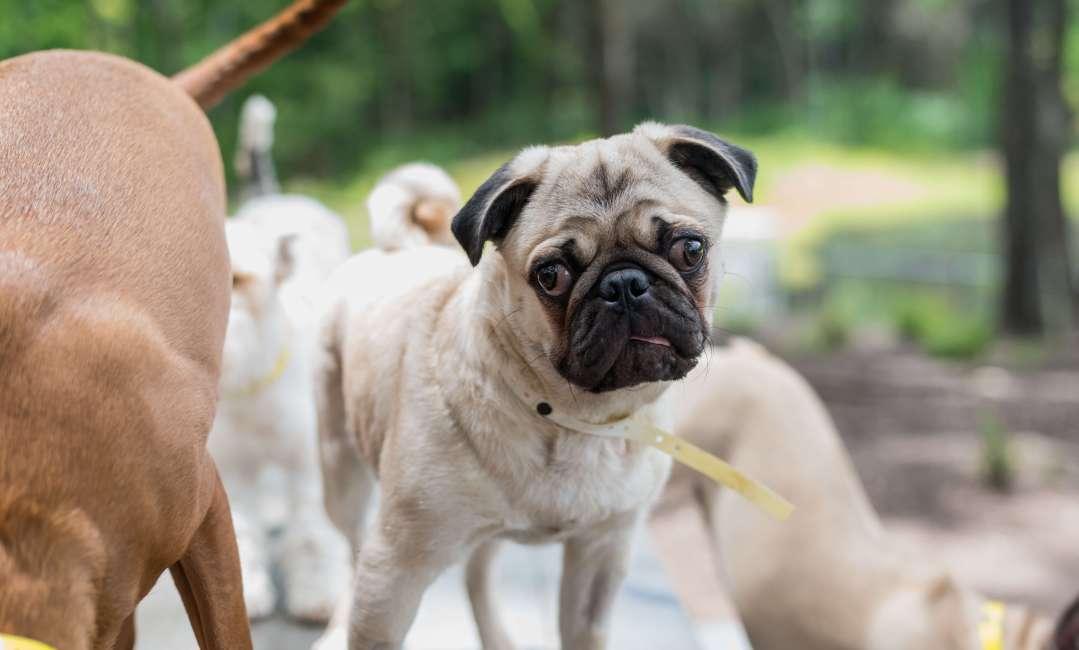 Pug at Lakeland doggie daycare