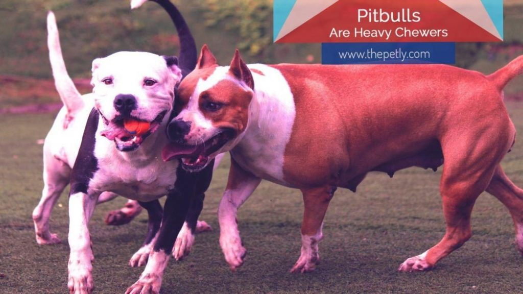 image of the pit bulls are heavy chewers