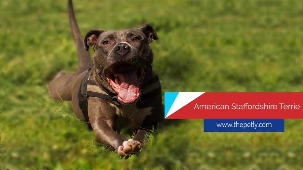 Image of the american staffordshire terrier