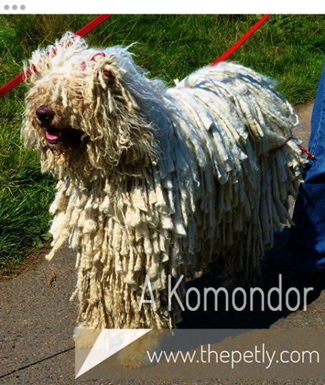 A Picture of A Komondor Dog Breed