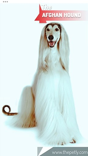 The picture of the Afghan Hound dog breed