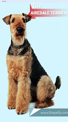 The image of the Airedale Terrier Dog Breed