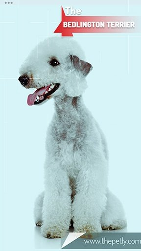 The picture of the Bedlington Terrier dog breed