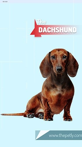 The picture of the Dachshund dog breed