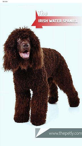 The picture of the Irish Water Spaniel dog breed