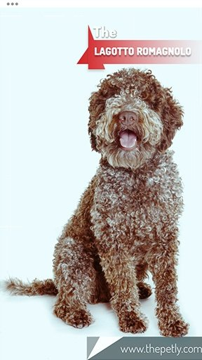 The picture of the Lagotto Romagnolo dog breed