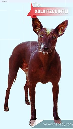 The picture of the Xoloitzcuintli dog breed
