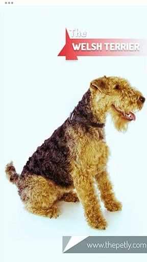 The picture of the Welsh Terrier dog breed