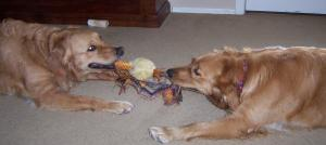 dogs fight over toy