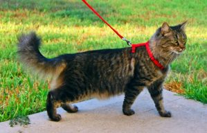 kitty walking on harness