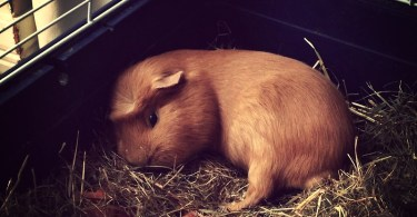 How Much Sleep Does A Guinea Pig Need?