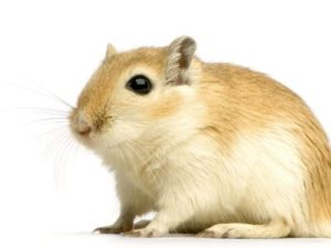 Are Gerbils Nocturnal?