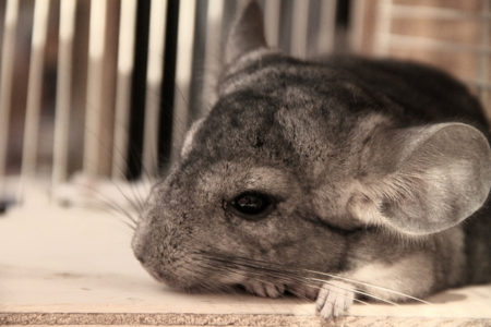 Common Chinchilla Health Conditions