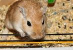 How Long Do Gerbils Live? - Average Lifespan of Gerbils