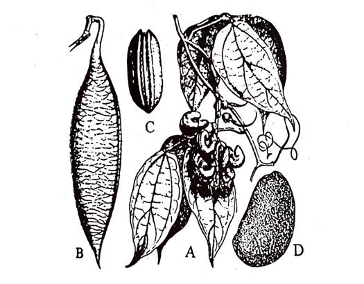 Calabar Beans