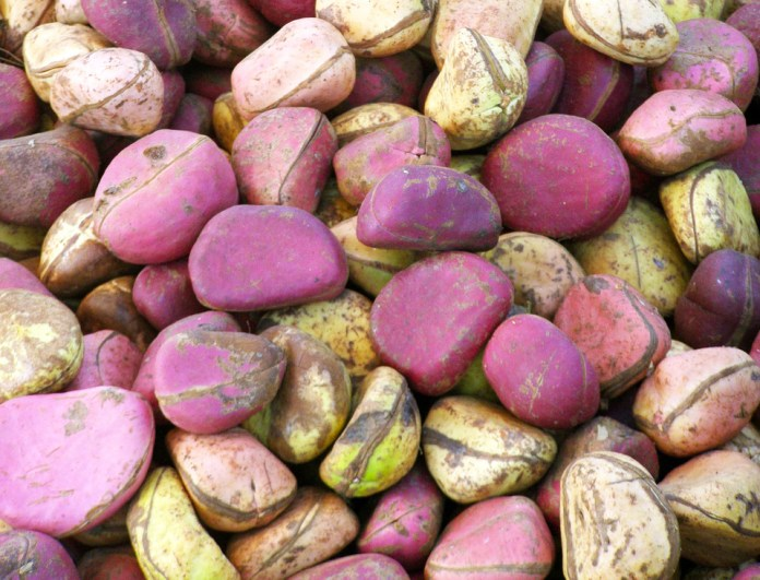 Cola seeds