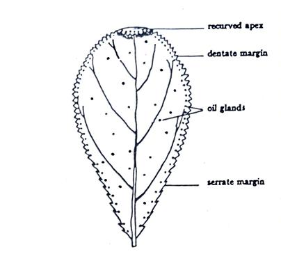Barosma Betulina(Buchu)