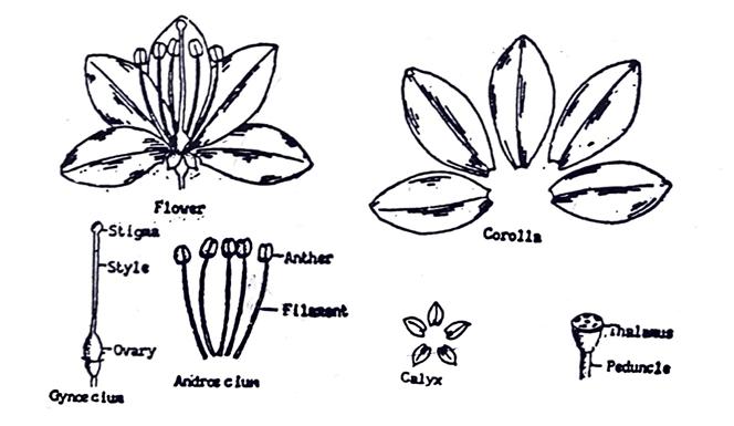Flowers in pharmacognosy