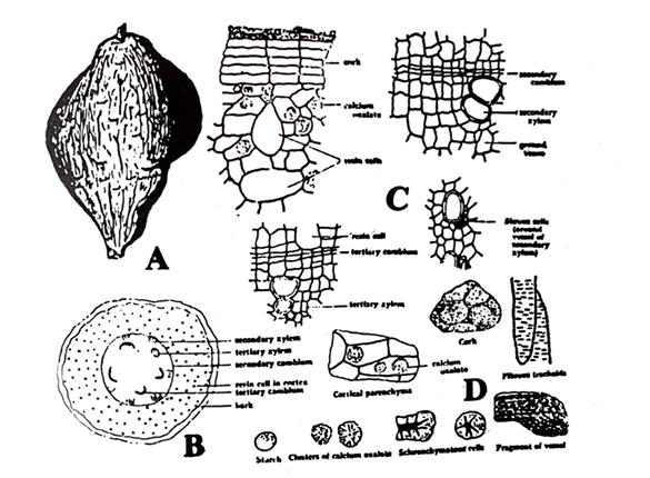 Jalap Macroscopical characters